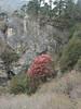 Rhododendron arboreum, Monjo 2900m-Namche Bazaar-Tengboche-Deboche 3630m