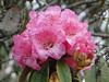 Rhododendron arboreum ssp cinnamomeum var. roseum,( undersite leaf, indumentum whitish-brown) near Chalem Kharka 3450m