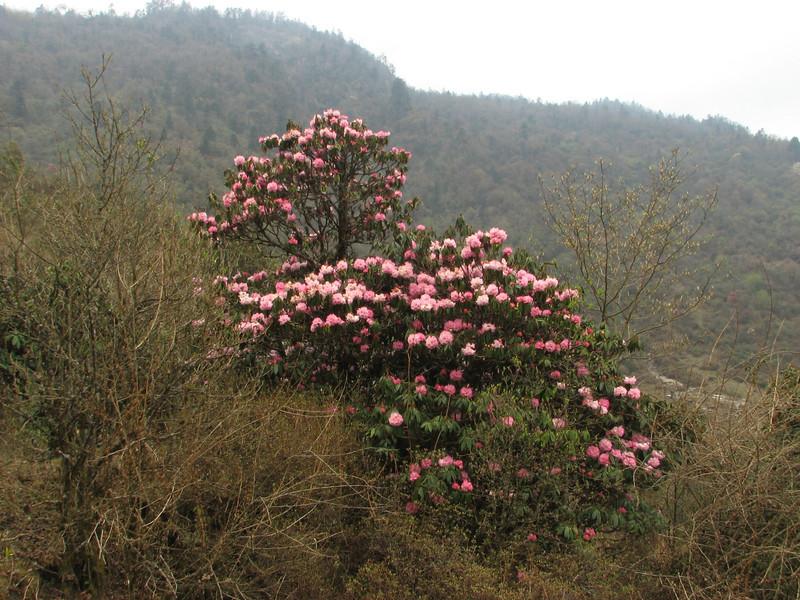 Rhododendron arboreum var. roseum, Pangkongma 2850m