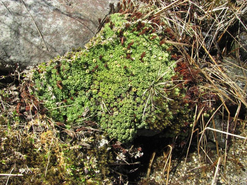 Saxifraga  andersonii hybrid probably cf. Saxifraga X tukuchensis, Kothe 3700m-Tangnag 4300m