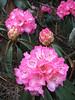 Rhododendron arboreum var. roseum, Puyan 2725m-Pangkongma 2850m