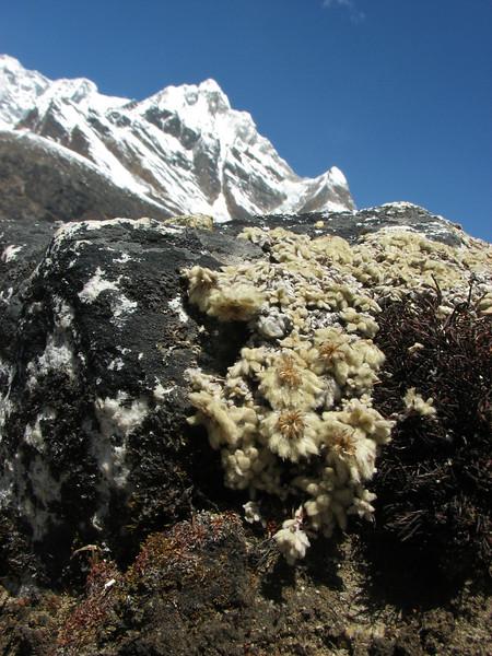 Leontopodium monocephalum, near Camp Khare >5000m