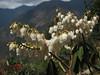 Pieris formosa, Lukla 2775m-Puyan 2725m
