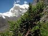 Juniperus indica, Tangnag 4300m-Khare 4950m