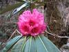 Rhododendron hodgsonii