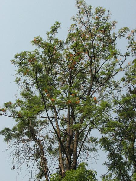 Grevillea robusta, (NL: Australische zilvereik), Kathmandu 1300m