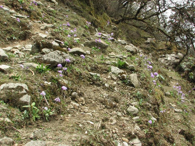 Primula denticulata (including a dark coloured form), Zatwrala 3800m-Lukla 2800m