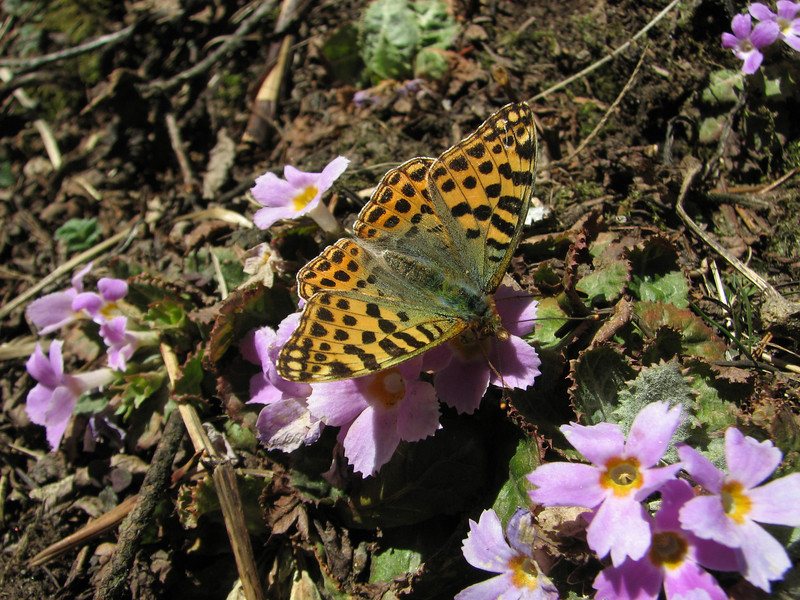 Issoria lathonia, (NL: kleine parelmoervlinder) Queen of Spain Fritillary on Primula  gracilipes, Kothe 3700m-Zatwrala 3800m (Identification by Adrian Hoskins, U.K.)