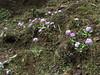 Primula atrodentata,  Deboche 3650m