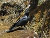Corvus macrorhynchos, Large-billed Crow, Kothe 3700m-Zatwrala 3800m