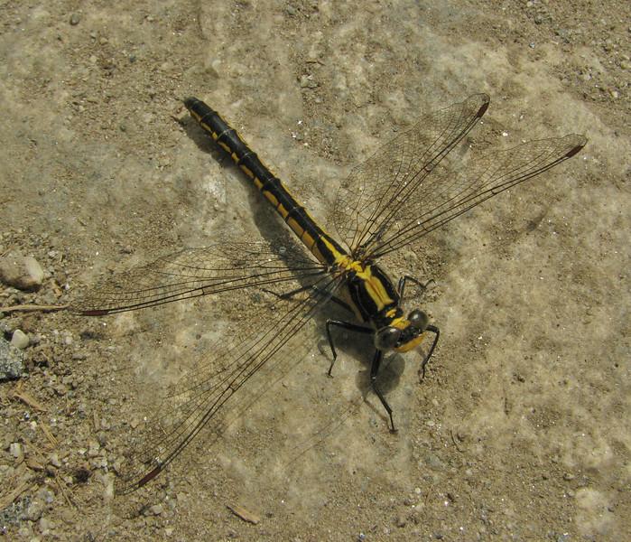 Anisoptera spec. dragonfly, Phakding 2650m-Lukla 2800m