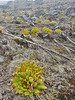 Meconopsis paniculata, Kothe 3700m-Zatwrala 3800m