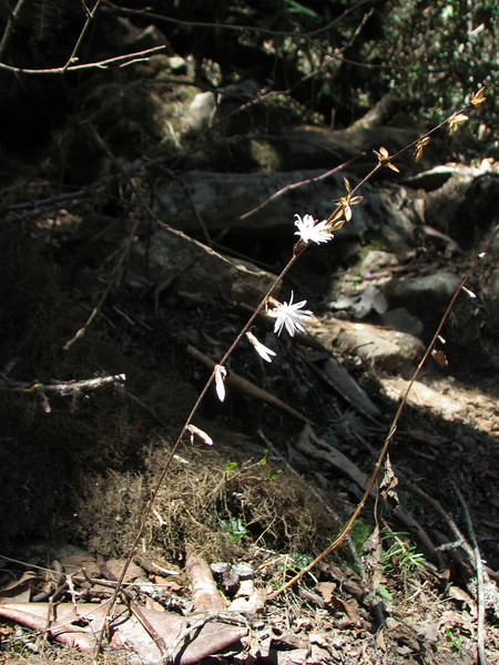 Ainsliaea aptera, Kothe 3700m-Zatwrala 3800m