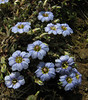 Gentiana pedicellata, Lukla 2775m