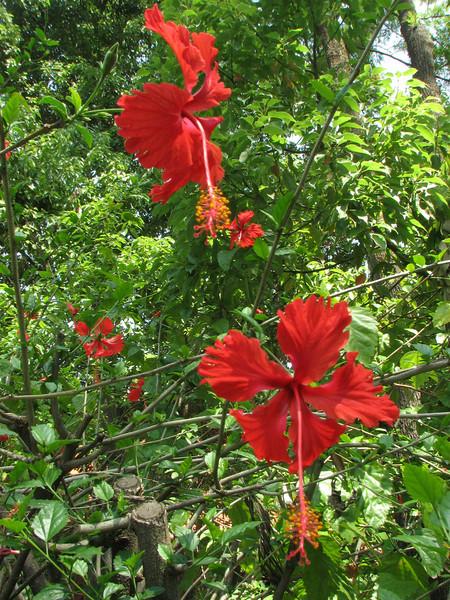 Hibiscus rosa-sinensis (Native to China), Kathmandu 1300m