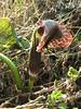 Arisaema griffithii var. verrucosum (Schott)  Najing 2600m-Chalem Kharka 3450m