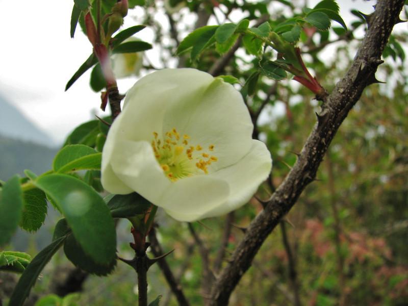 Rosa sericea, Lukla 2800m