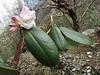 Rhododendron ???arboreum var. roseum???,(undersite leaf, indumentum whitish), Zatwrala 3800m-Lukla 2800m