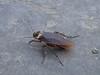 Ectobius spec. (Blattodea), cockroach (NL: kakkerlak)