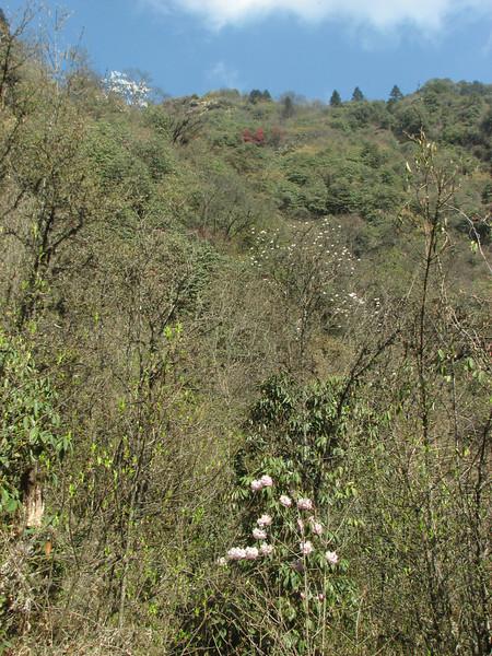 Rhododendron and Magnolia campbellii