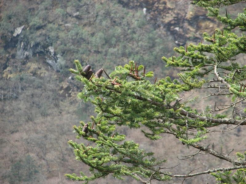 Abies spectabilis,  Deboche 3650m