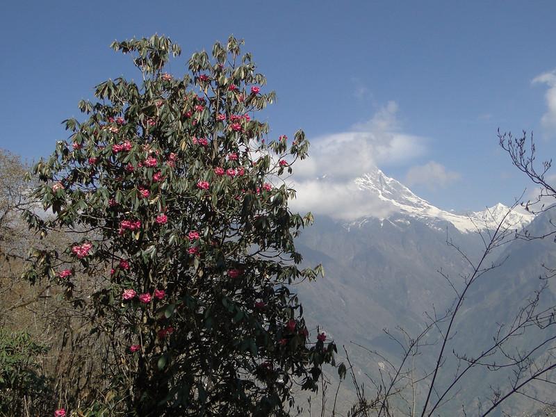 Rhododendron arboreum, Puyan 2725m-Pangkongma 2850m