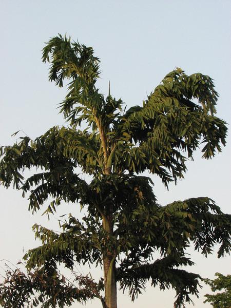 Caryota urens, Fish-tail palm,native to India, Sri Lanka, Kathmandu 1300m