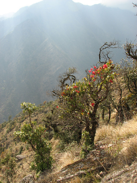Rhododendron spec