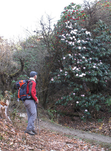Rhododendron arboreum ssp cinnamomeum var. roseum,( undersite leaf, indumentum brown felted)Pangkongma 2850m-Najing 2600m