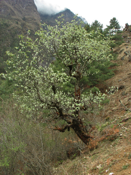 Sorbus cuspidata, Monjo 2900m-Namche Bazaar-Tengboche-Deboche 3630m