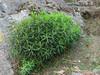 Euphorbia spec. Phakding 2650m-Lukla 2800m