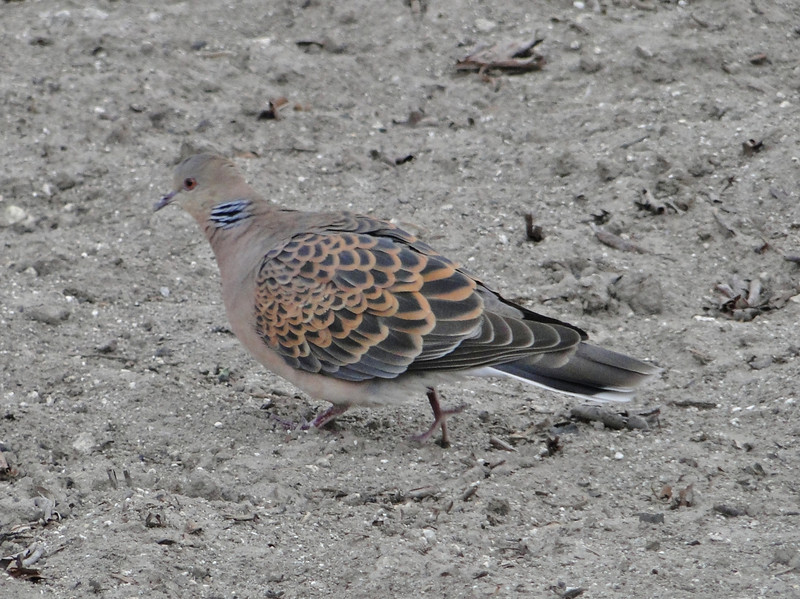 Steptopelia orientalis, Oriental Turtle Dove, female