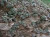 Androsace sarmentosa, rosettes. Namche Bazaar 3450m