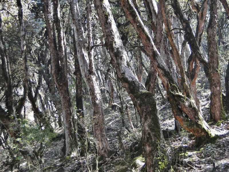 Trunks of Rhododendron trees. Puyan 2725m-Pangkongma 2850m