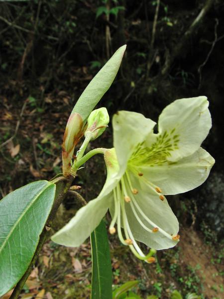 Rhododendron triflorum var. bauhiniiflorum, Lukla 2775m