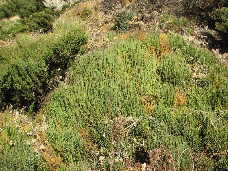 Ephedra gerardiana, Tangnag 4300m- Khare 4950m