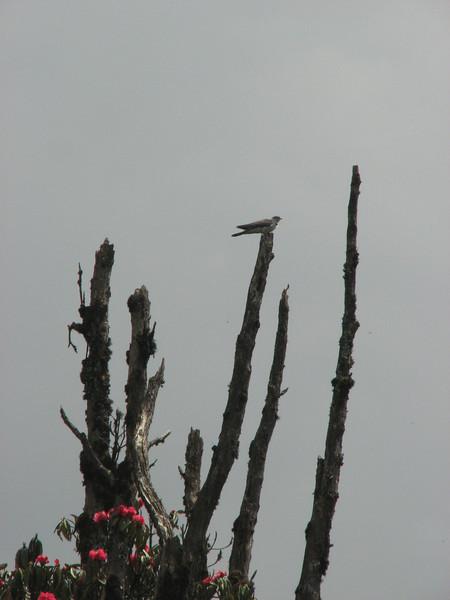 Cuculus canorus bakeri