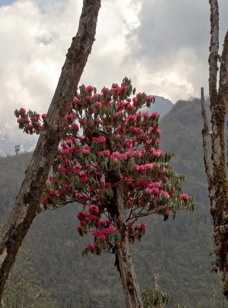 Rhododendron arboreum ssp arboreum