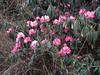 Rhododendron arboreum var. roseum