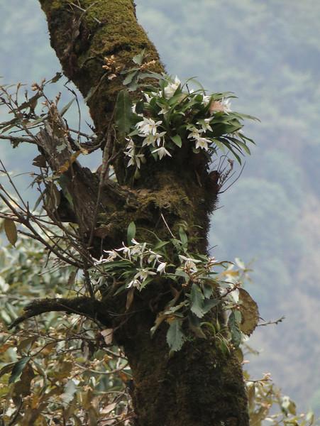Coelogyne corymbosa, Pangkongma 2850m-Najing 2600m