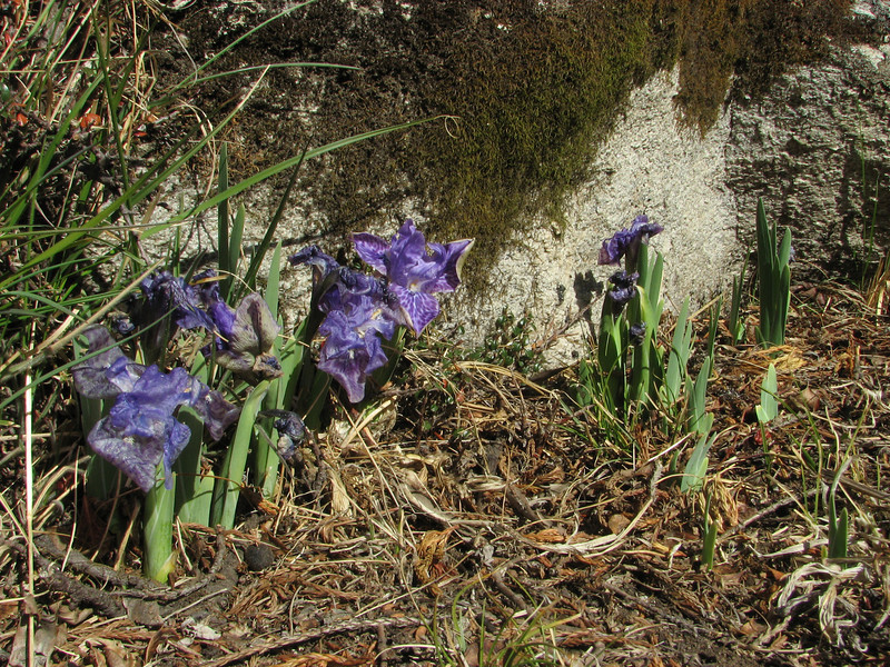 Iris kemaonensis, Deboche 3630m-Pangboche-Chhukung 4780m