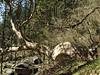 Trunk of Rhododendron spec. Kothe 3700m-Zatwrala 3800m
