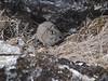 Ochotona roylei, Royle's Pika , Kothe 3700m-Zatwrala 3800m