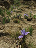 Iris kemaonensis,  Deboche 3650m-Namche Bazaar 3450m