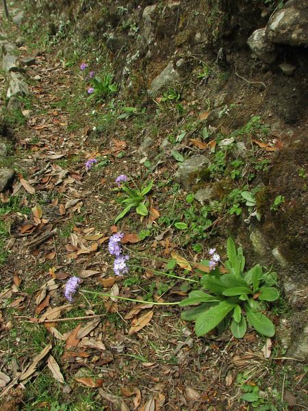 Primula denticulata, Lukla 2775m