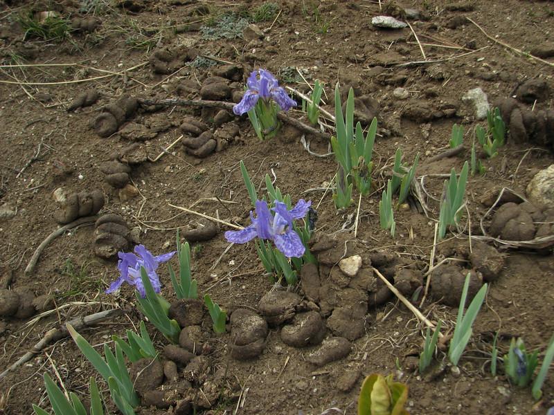 Iris kemaonensis growing in horse pasture, Namche Bazaar 3450m