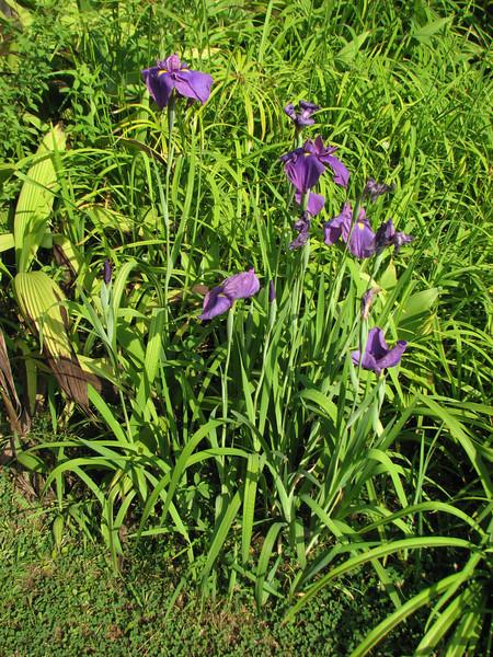 Iris spec. Kathmandu 1300m
