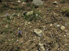Iris kemaonensis and Gentiana pedicellata, Deboche 3650m-Namche Bazaar 3450m
