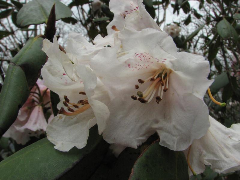 Rhododendron wallichii