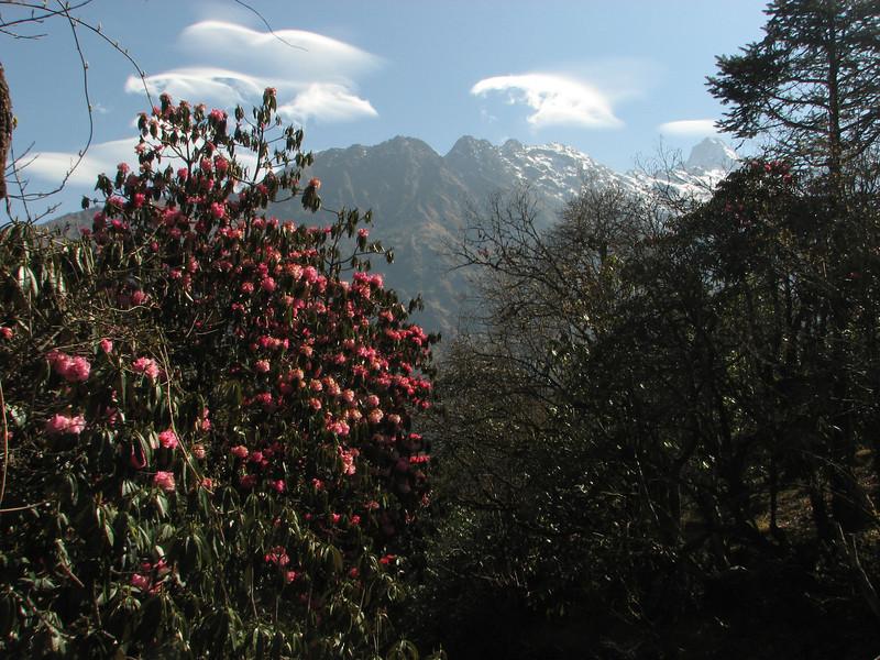 Rhododendron arboreum ssp. arboreum